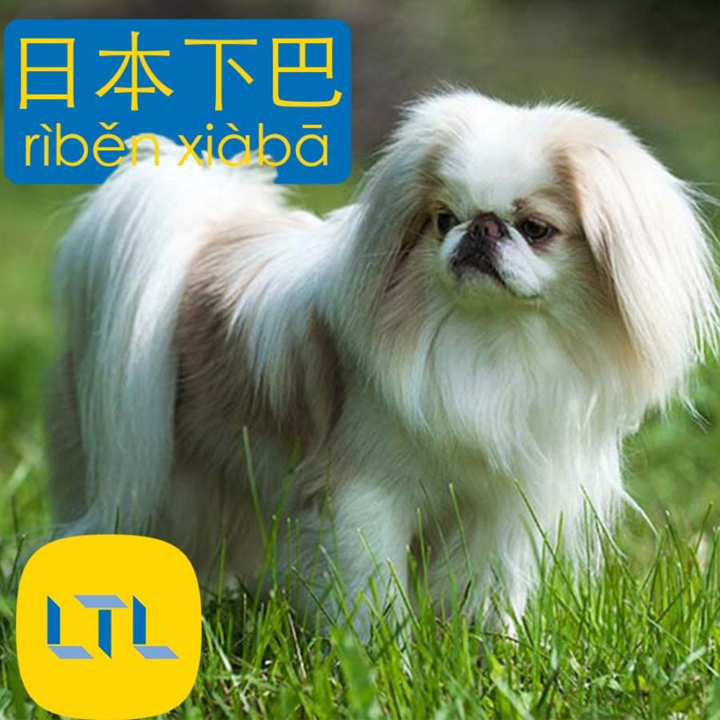 Japanese Chin - dog breeds in China
